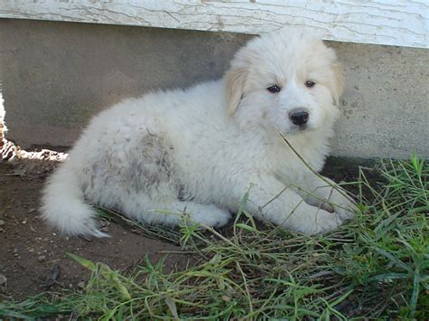 great pyrenees puppy golden pyrenees golden retriever great pyrenees mix temperament pictures