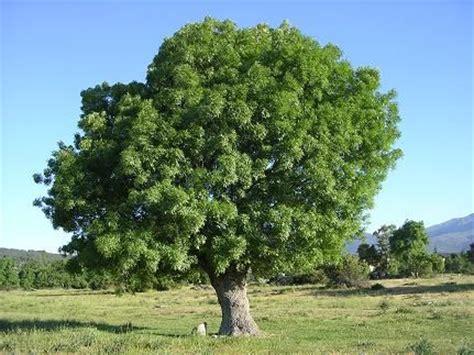 tree fresno ca fresno common tree arbol de fresno comun trees
