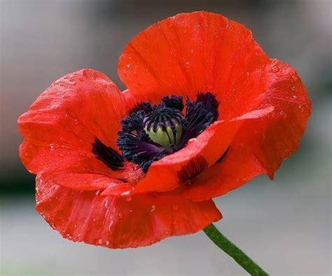 significato fiore papavero papavero significato linguaggio dei fiori il