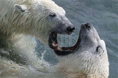 oso polar oso polar 080506902x osos polares reproducci 243 n de los osos polares