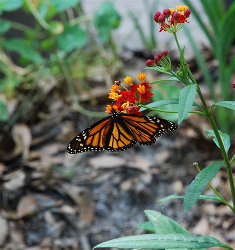 Butterfly Giveaways - collins photography monarch butterfly print giveaway gardening know how s blog