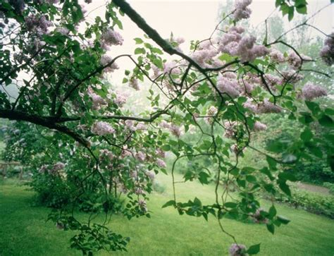 Away To Garden by Pruning Lilacs A Way To Garden
