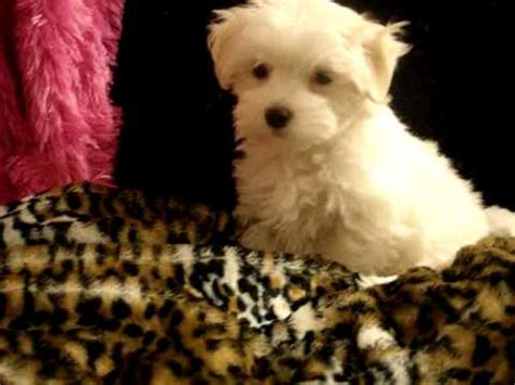 yorkie maltese poodle teacup maltese maltipoo morkie yorkie poodle pom puppies for sale in los angeles
