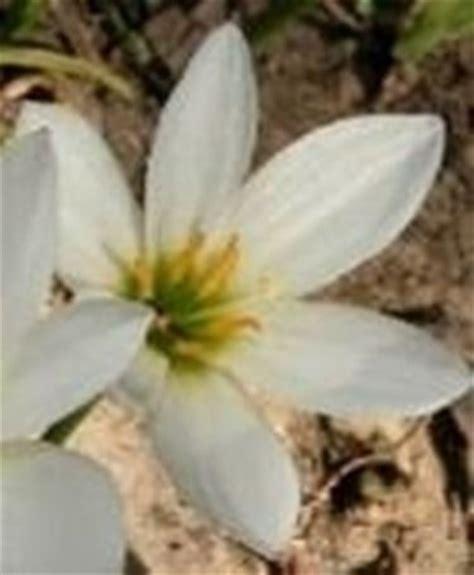fiore bianco fiore bianco domande e risposte giardino