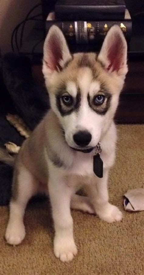 husky puppies for sale in ga husky and pictures siberian husky pics