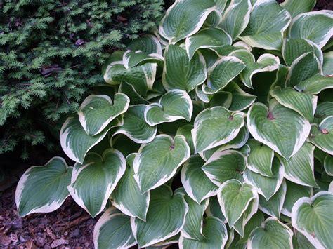 hostas ramblin through dave s garden