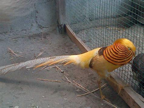 Bibit Ayam Tibet jual ayam tibet golden pheasant jual ayam hias