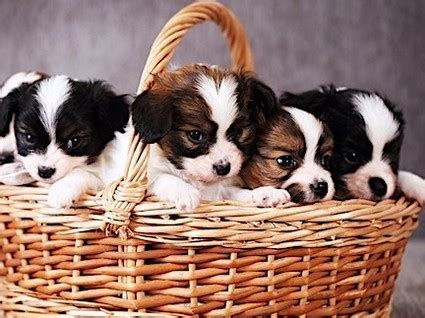 puppies n san puppies for sale puppy stores in and tucson arizona