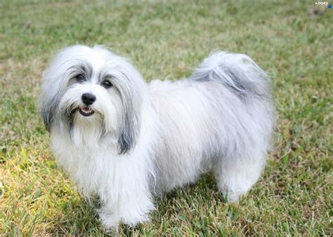 Havanese, white and gray - Dogs wallpapers: 2100x1500