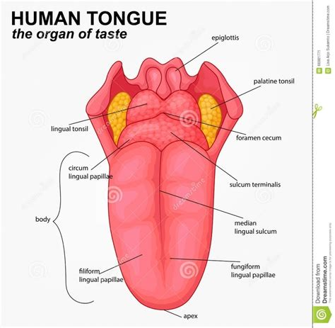 diagram of the tongue of the tongue diagram diagram of anatomy