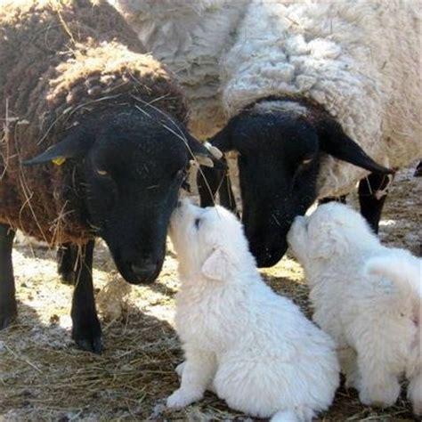 Kisses 3 Puppy best 25 maremma sheepdog ideas on white