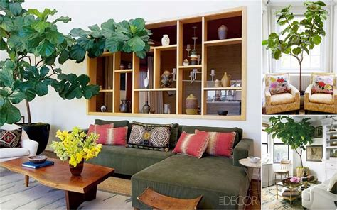 decorative plants for living room mintsix the fabulous fiddle leaf fig