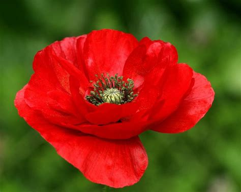 google images poppies red poppy flower google search my favorite flowers