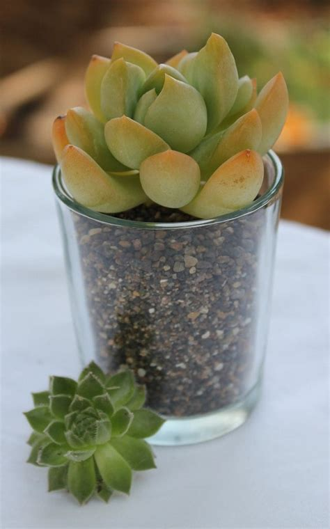 How To Propagate A Succulent Cookie And Kate - 69 best nick and kate s wedding images on