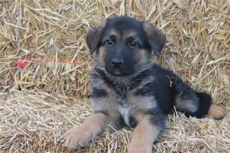 6 week puppy german shepherd puppy 6 weeks 1001doggy