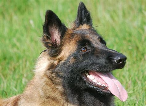 personal protection dogs for sale personal protection dogs for sale in the uk breeds