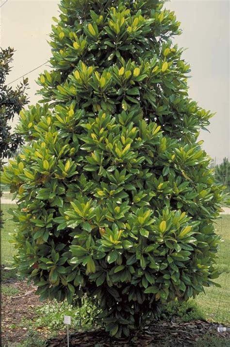 Florida Home Designs plantation magnolia tree selection landscape plants