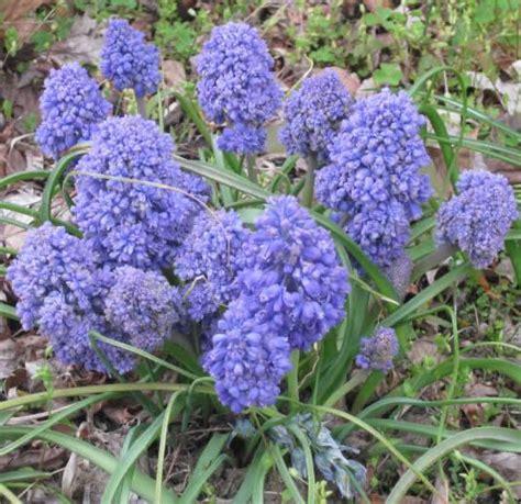 blue flower bulbs muscari creation for sale buy for 163 2 99