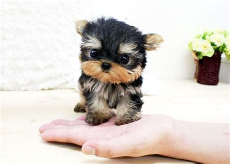 black teacup yorkie baby teacup yorkies baby white yorkies black white yorkie animals
