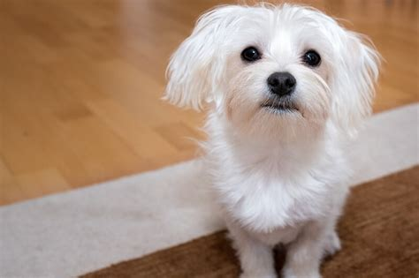 how many puppies can a maltese facts about maltese dogs