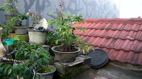 Bakalan Bonsai Asem bakalan bonsai asem jawa yang imut