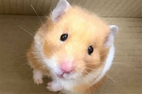 Hamster Kitchen by Hamster Joins Middlesbrough Family For Breakfast Do You