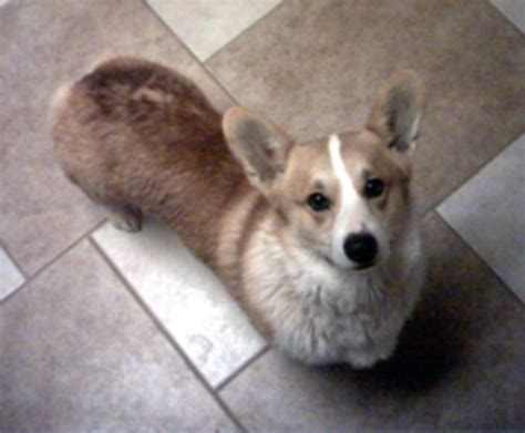 corgi puppies arkansas pembroke corgi breeders pembroke corgi puppies html autos weblog