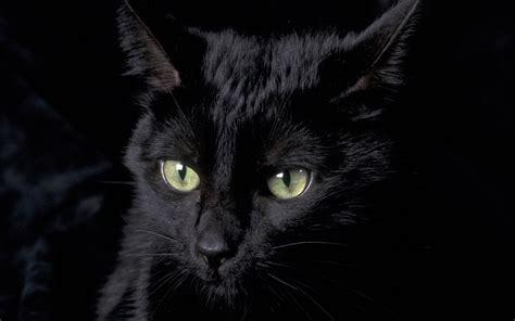 wallpaper cat black black cat wallpaper 6692