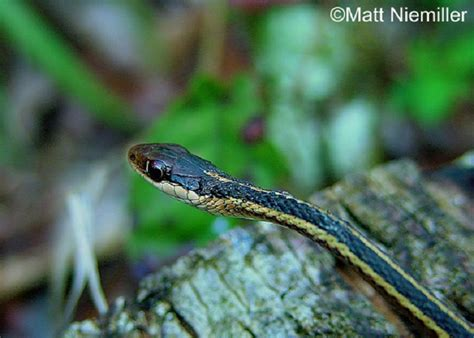 Garden Snake Tennessee Tennessee Watchable Wildlife Eastern Ribbonsnake