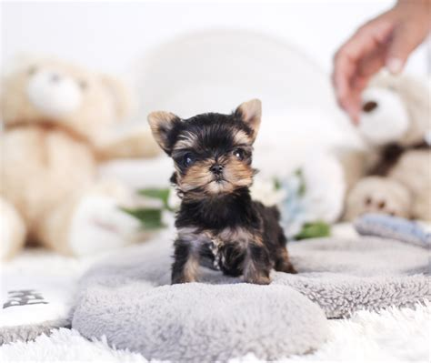pomeranian puppies for sale in killeen chihuahua puppies for sale teacup and pets boutique upcomingcarshq