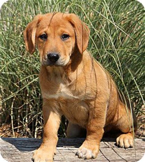 redbone coonhound golden retriever mix glastonbury ct labrador retriever redbone coonhound mix meet donatello a puppy for