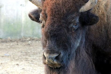 picture face american bison