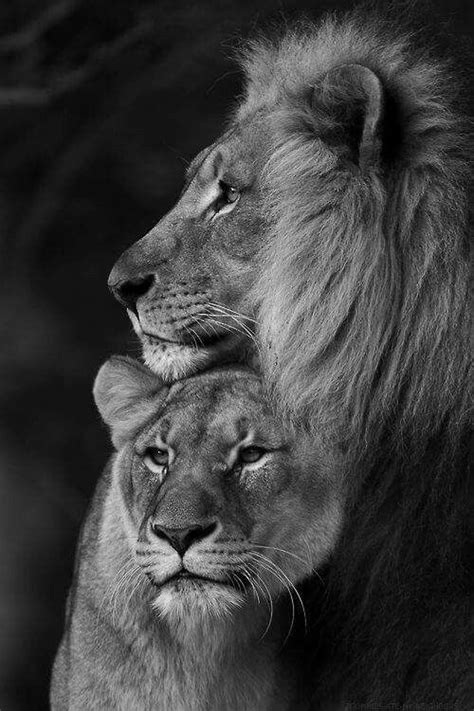 film with a black lion best 25 lion ideas on pinterest like a lion lion