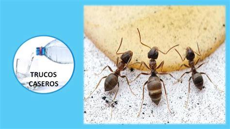 acabar con hormigas en casa acabar con hormigas en casa caseros para eliminar las