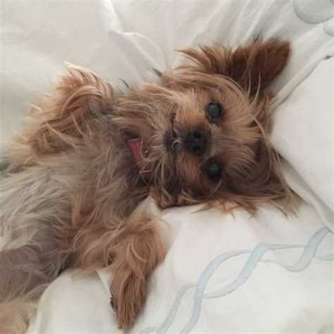 dogs like yorkies free images small teacup yorkie vertebrate adorable breed lhasa apso
