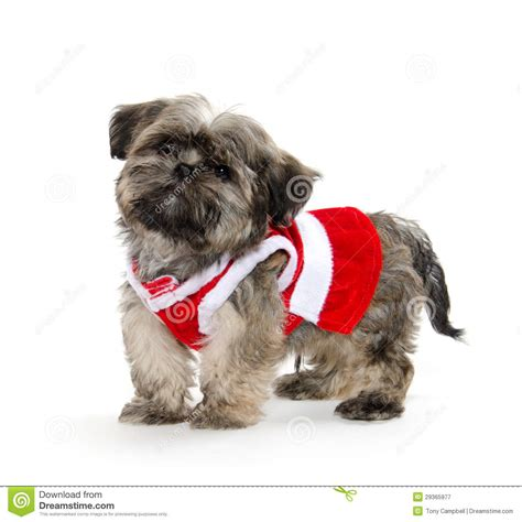 shih tzu sweater shih tzu puppy with sweater royalty free stock photography image 29365977