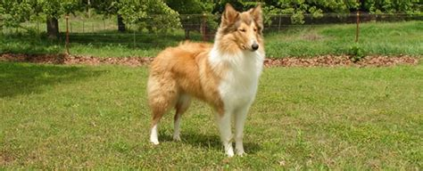 scotch collie puppies proposed breed standard for fashioned scotch collies