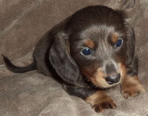 dachshund puppies for sale rochester ny mini dachshund for sale richmond va dogs our friends photo