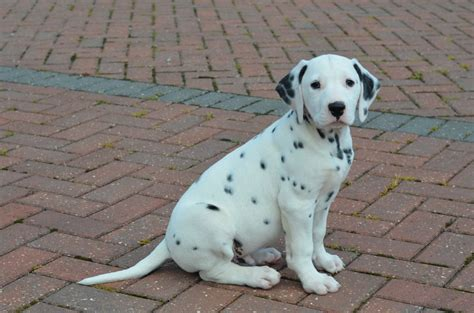 dalmatian puppies for sale 5 dalmatian puppies for sale 1 puppy left holywell clwyd pets4homes