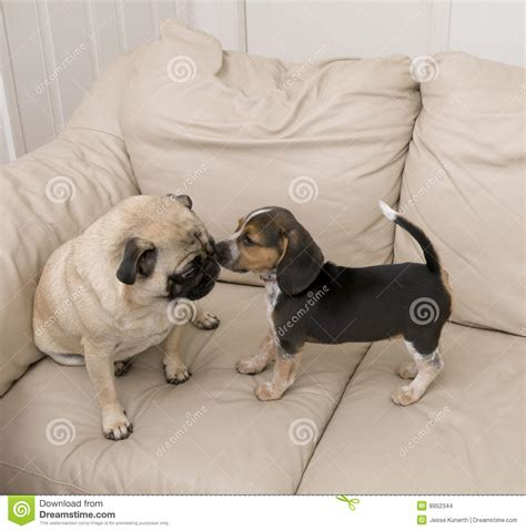 beagle and pug beagle a pug stock images image 8952344