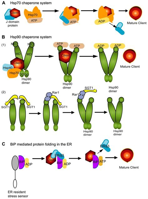 b j protein frontiers cellular chaperones and folding enzymes are