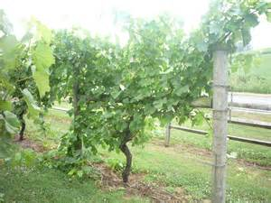 single grape vine trellis images