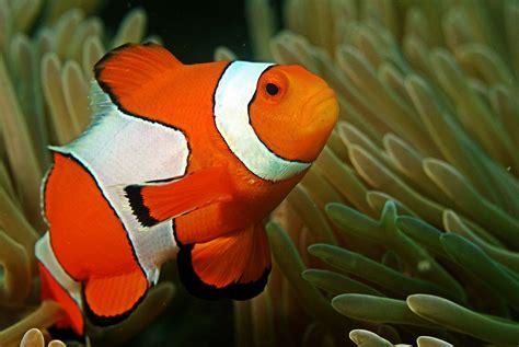 seawall luau grounds fish file clown fish in the andaman coral reef jpg wikimedia