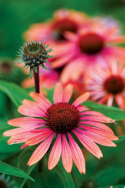 echinacea varieties 19 cutting edge coneflowers