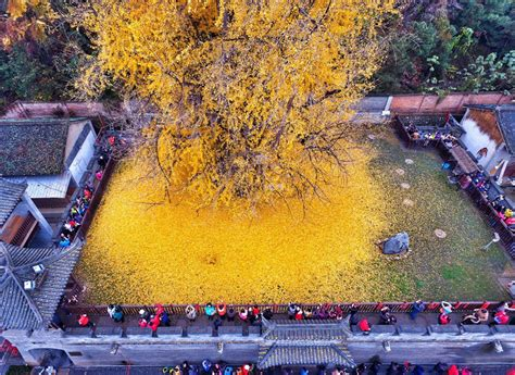 china doll yellow leaves 1 400 year ginkgo tree is drowning a buddhist