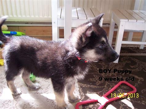 german shepherd puppies alaska alaskan shepherd info puppies temperament pictures