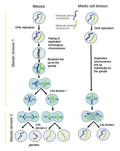 diagram a cell with four chromosomes going through meiosis histology guide the cell
