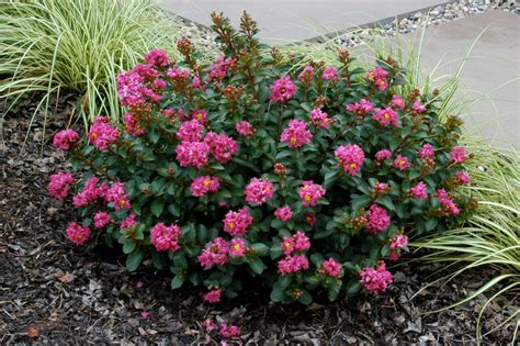 Miniature Plants For Sale by Pokomoke 2 Rose Pink From National Arboretum New