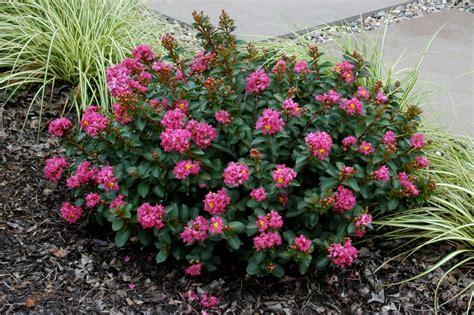 myrtle plant pokomoke 2 pink from national arboretum new