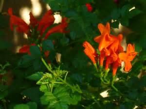 orange flower shrub species honeysuckle tjs garden